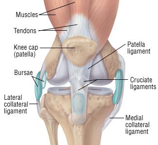 kneeligaments